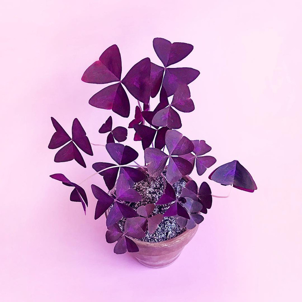 Oxalis Triangularis Small Plants Small Spaces Apartment Living