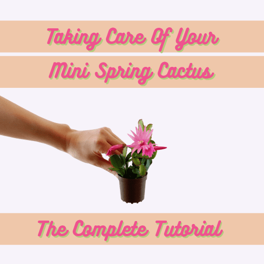 Taking Care Of Your Mini Spring Cactus: The Complete Tutorial