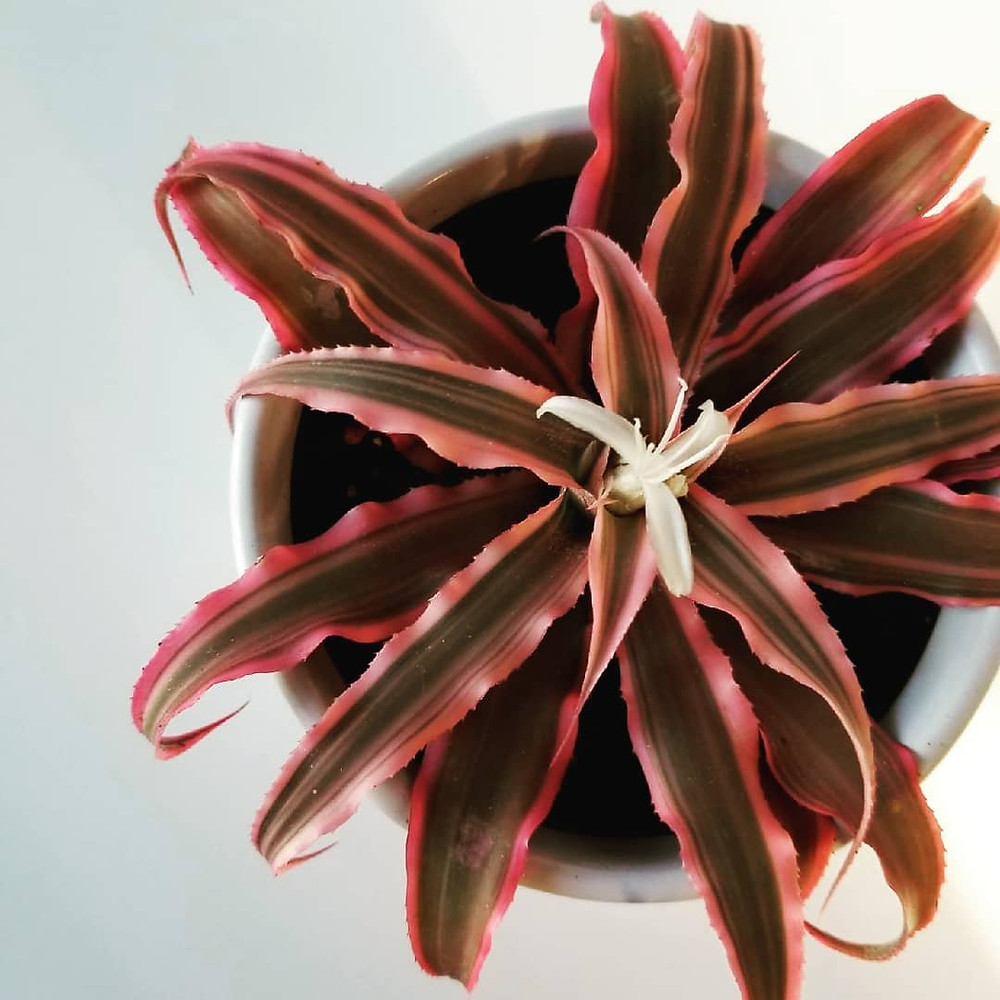Earth Star Plant Cryptanthus