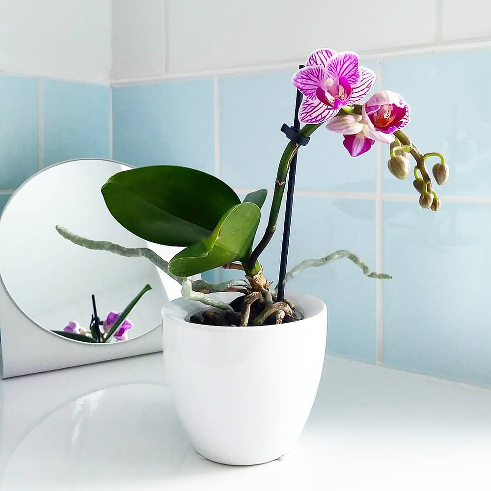 Orchids Plants That Do Great In The Bathroom