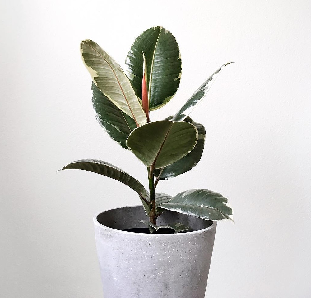 Rubber Plant Ficus Robusta Air Purifying Plants