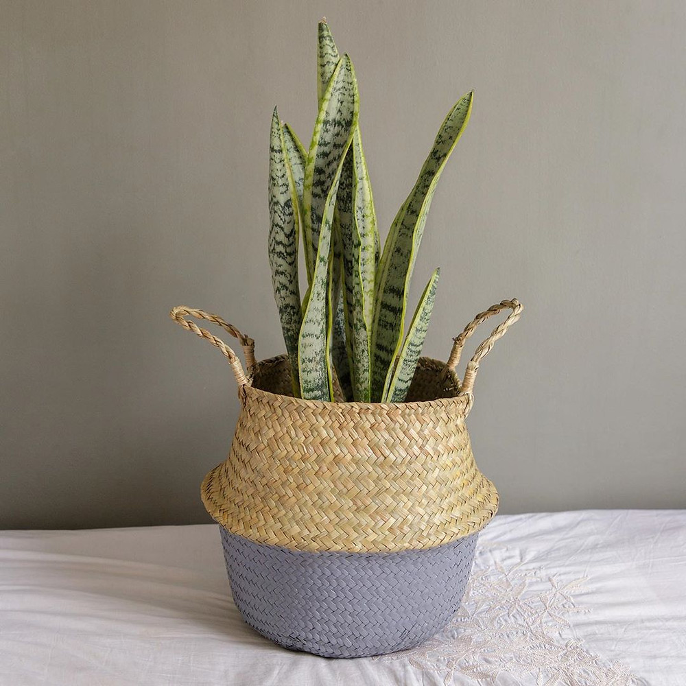 Snake Plant Sansevieria Healthy Home Air Purifying Houseplants