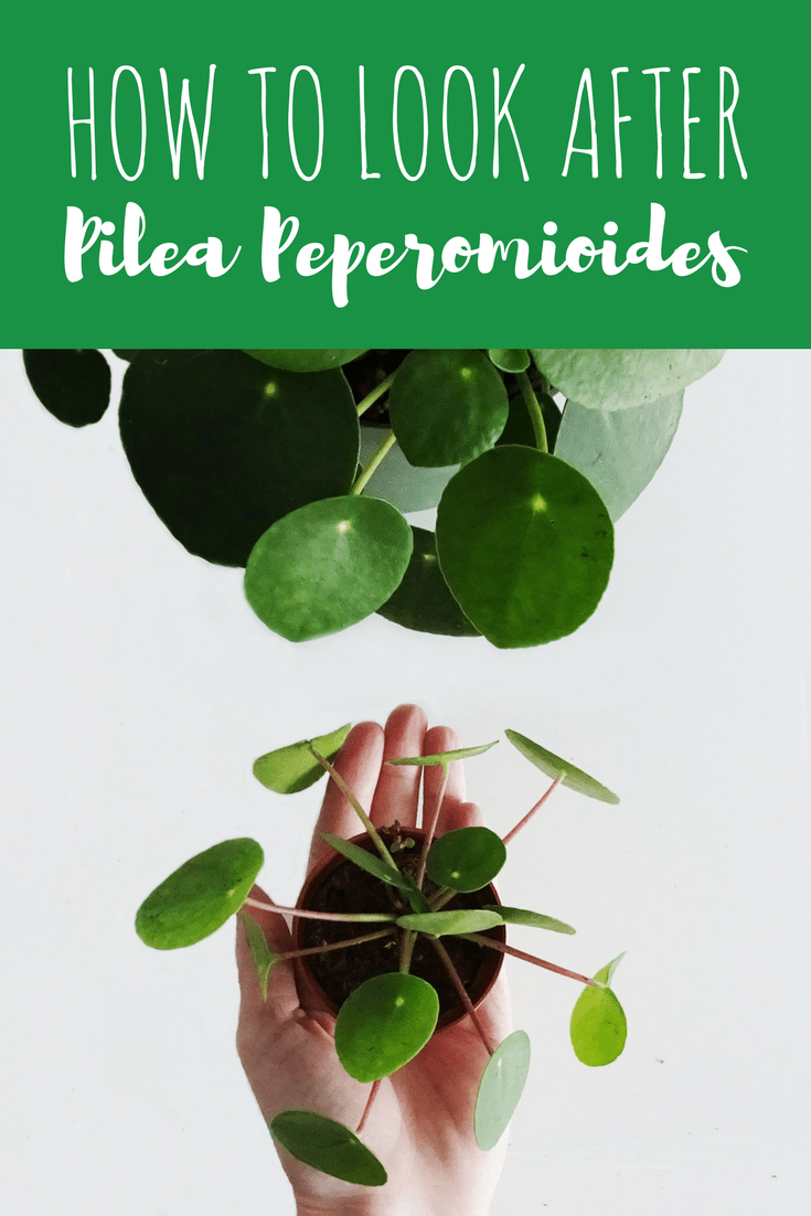 How To Take Care Of Pilea Peperomioides Tutorial Tips