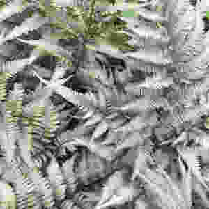 Japanese Painted Fern Beautiful Ferns You Can Grow In Your House