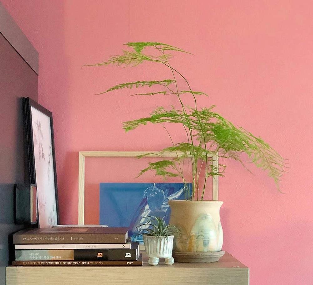 Asparagus Fern Quick Fast Growing Houseplants