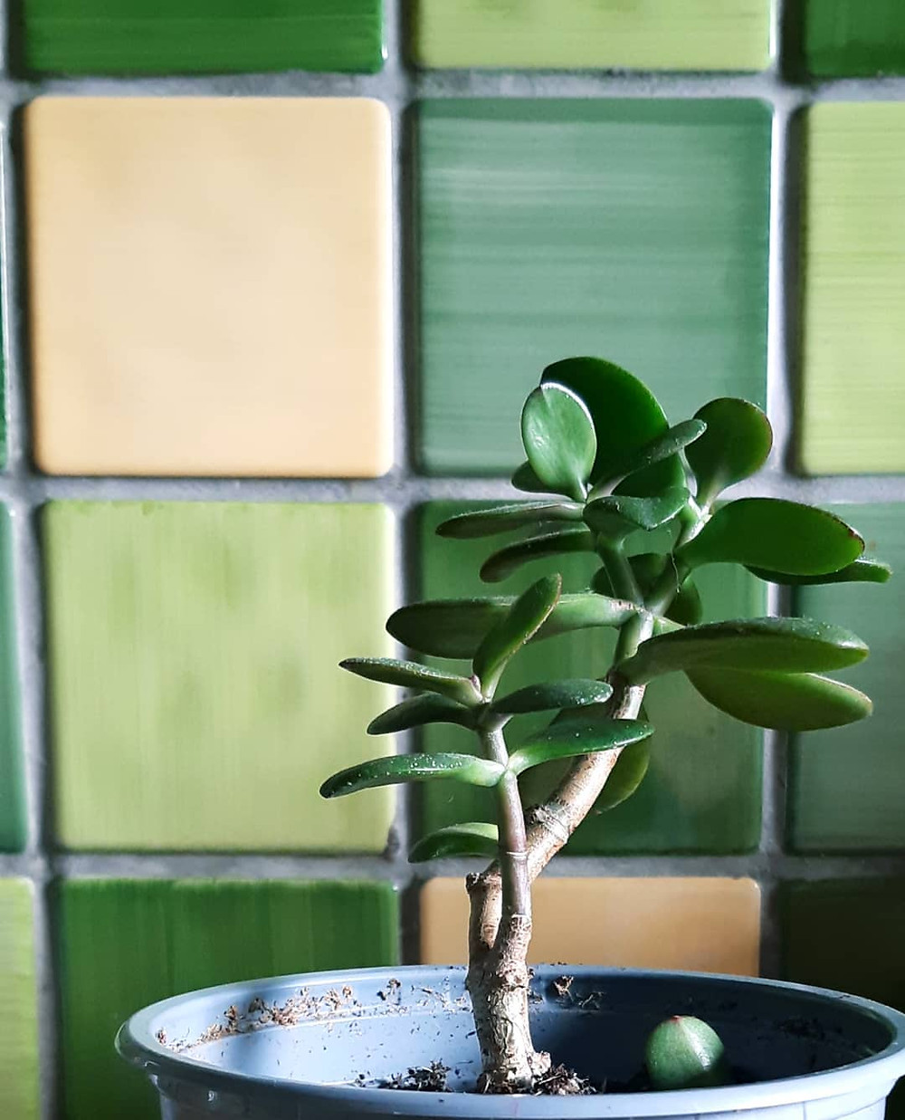 Jade Plant Houseplants You Can Propagate From Cuttings