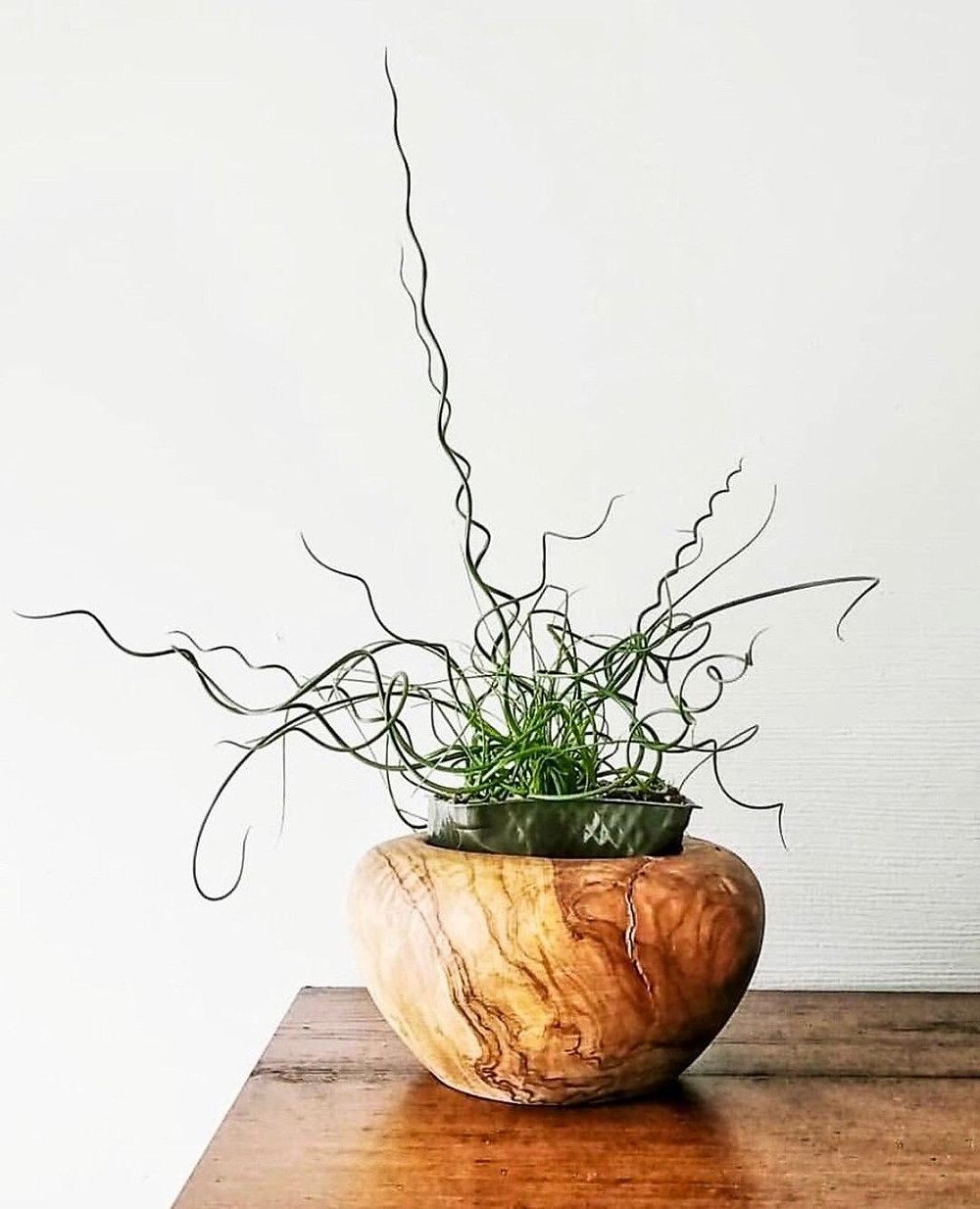 Corkscrew Grass Rare And Unusual Houseplants You Need Asap