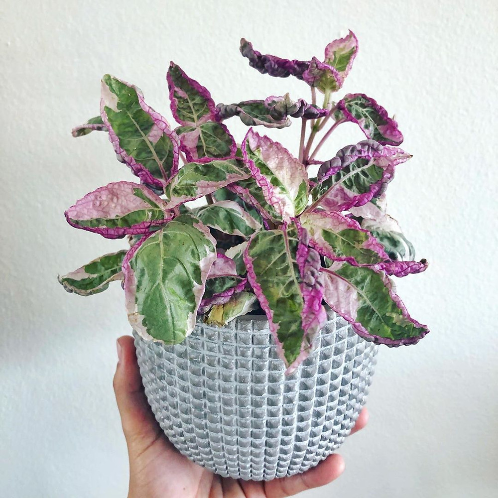 Purple Waffle Plant Houseplants That Are Safe For Cats And Dogs