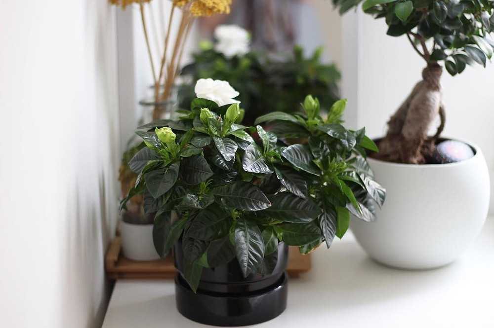 Gardenia Scented Houseplant