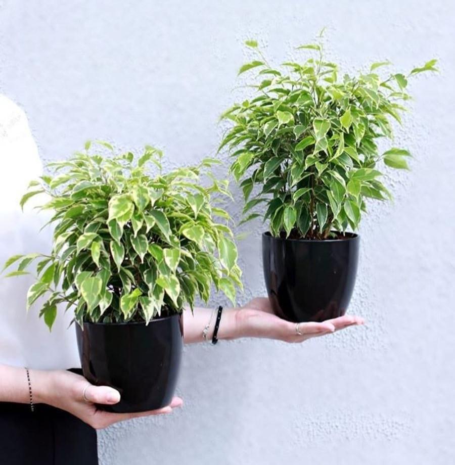 Ficus Benjamina Air Purifying Plant