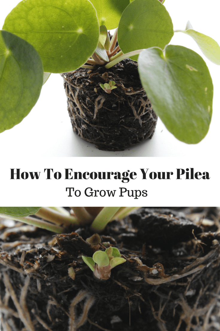 How To Encourage Pilea Peperomioides Pups Growth