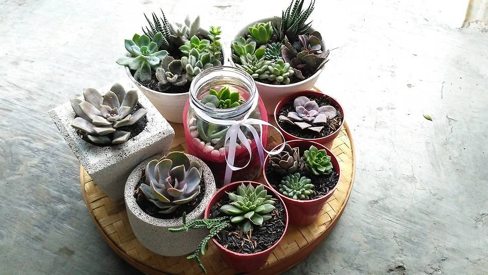 Succulents cacti small plants for small spaces indoor jungle