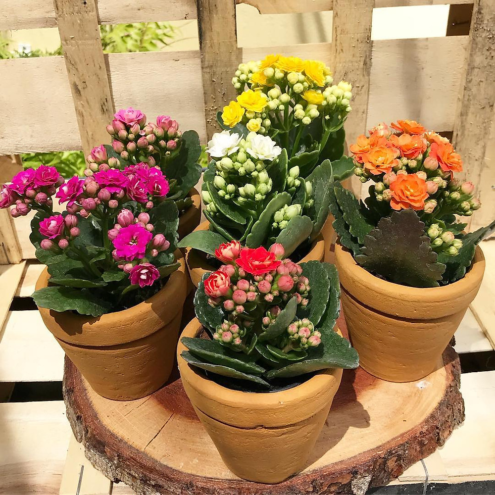 Kalanchoe Cute Tiny Plants For Small Apartments