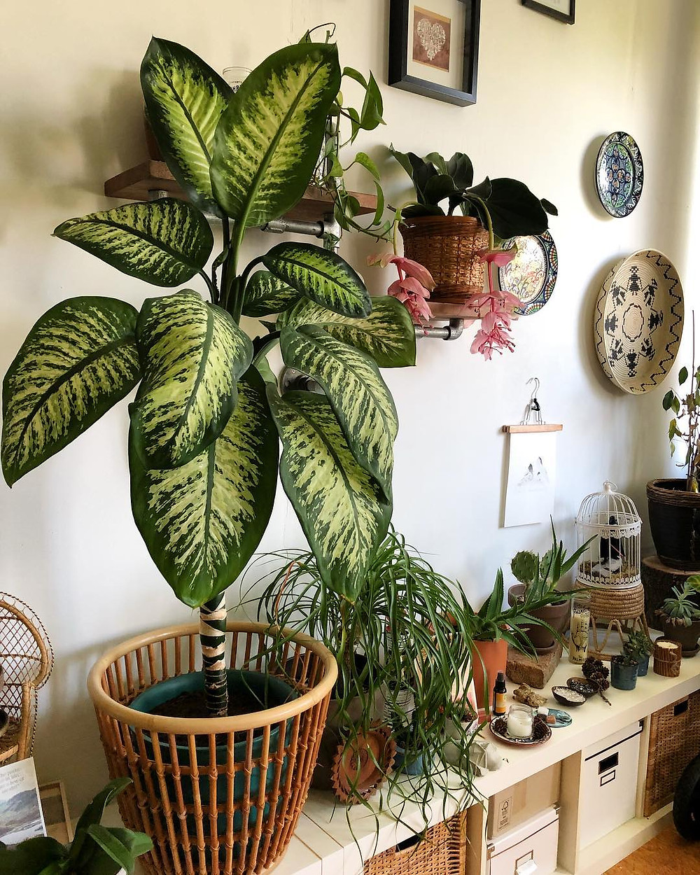 Easy To Care Houseplants Keep Alive Dieffenbachia