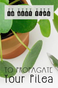 Pilea Peperomioides Propagation Tips