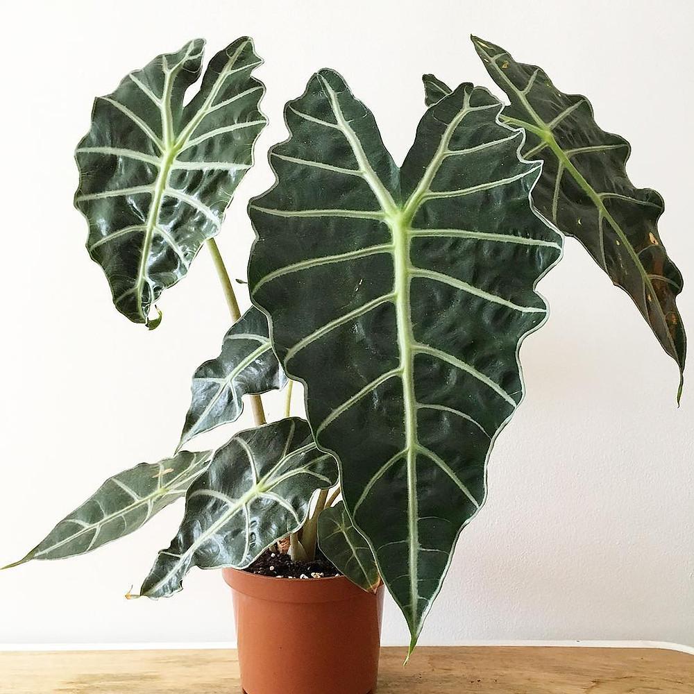 Alocasia Polly Alocasia Sanderiana Trending Popular plant 2018