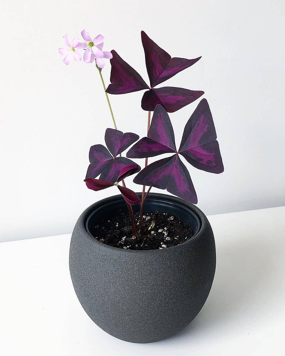 Oxalis Cute Tiny Plants For Small Apartments