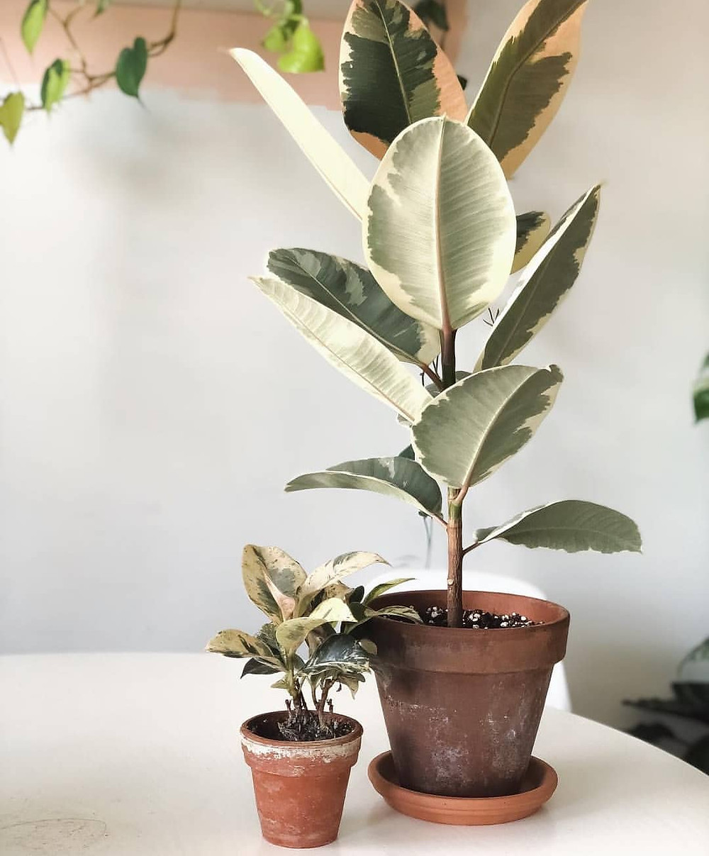 Ficus Elastica Hard To Kill Houseplants