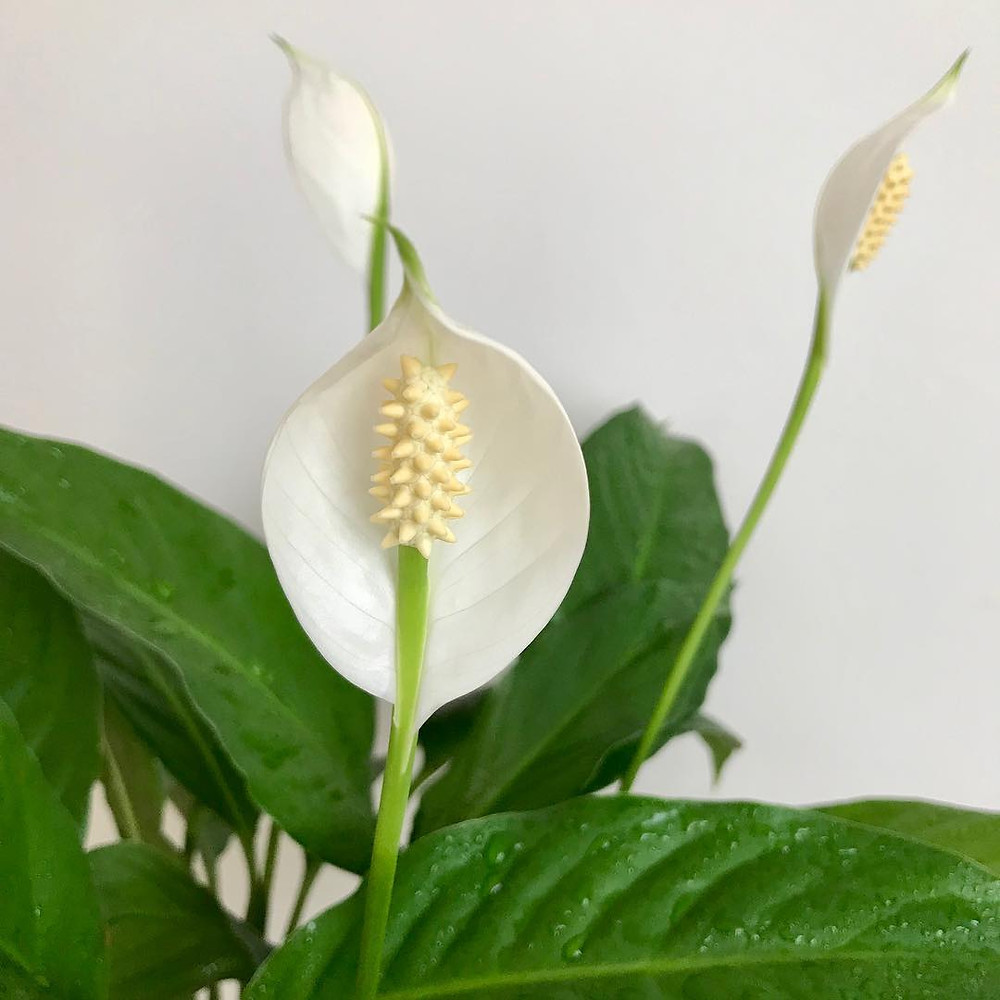 Peace Lily Spathiphyllum Air Purifying Plant