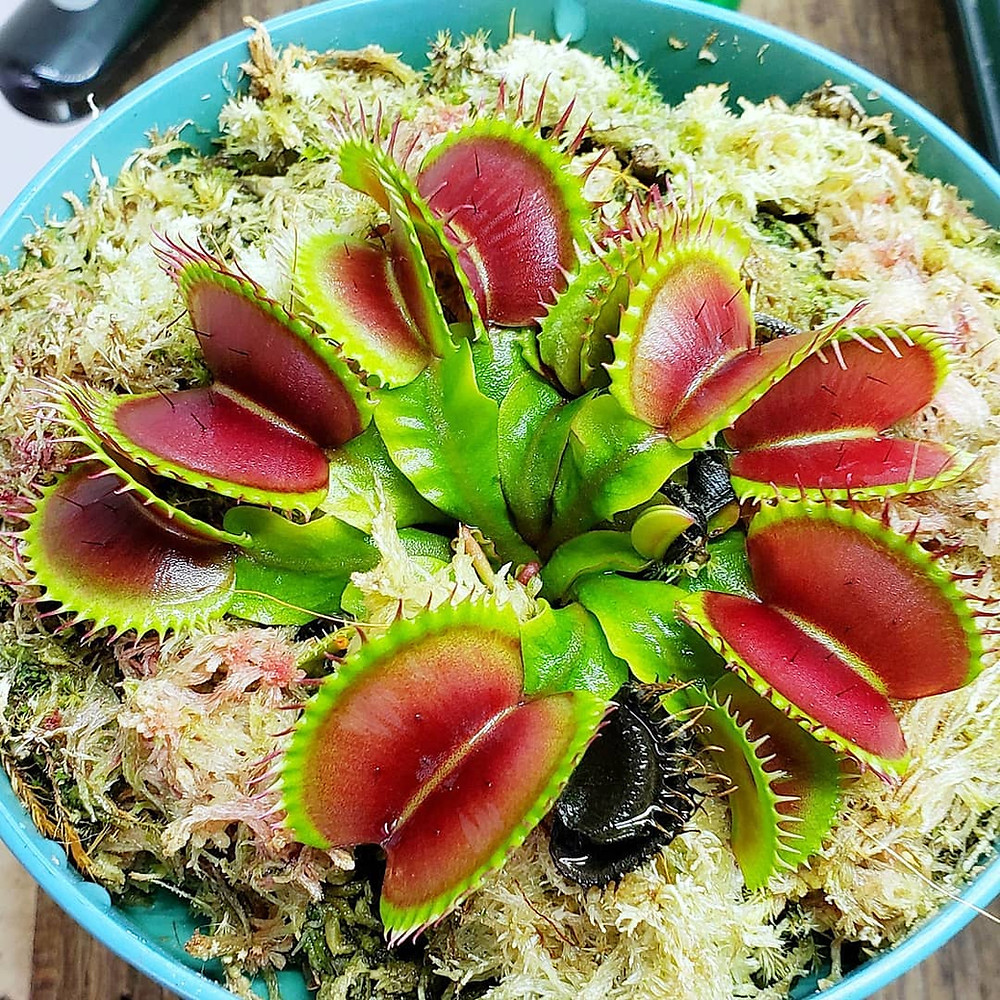 Venus Fly Trap Houseplants That Are Safe For Cats And Dogs