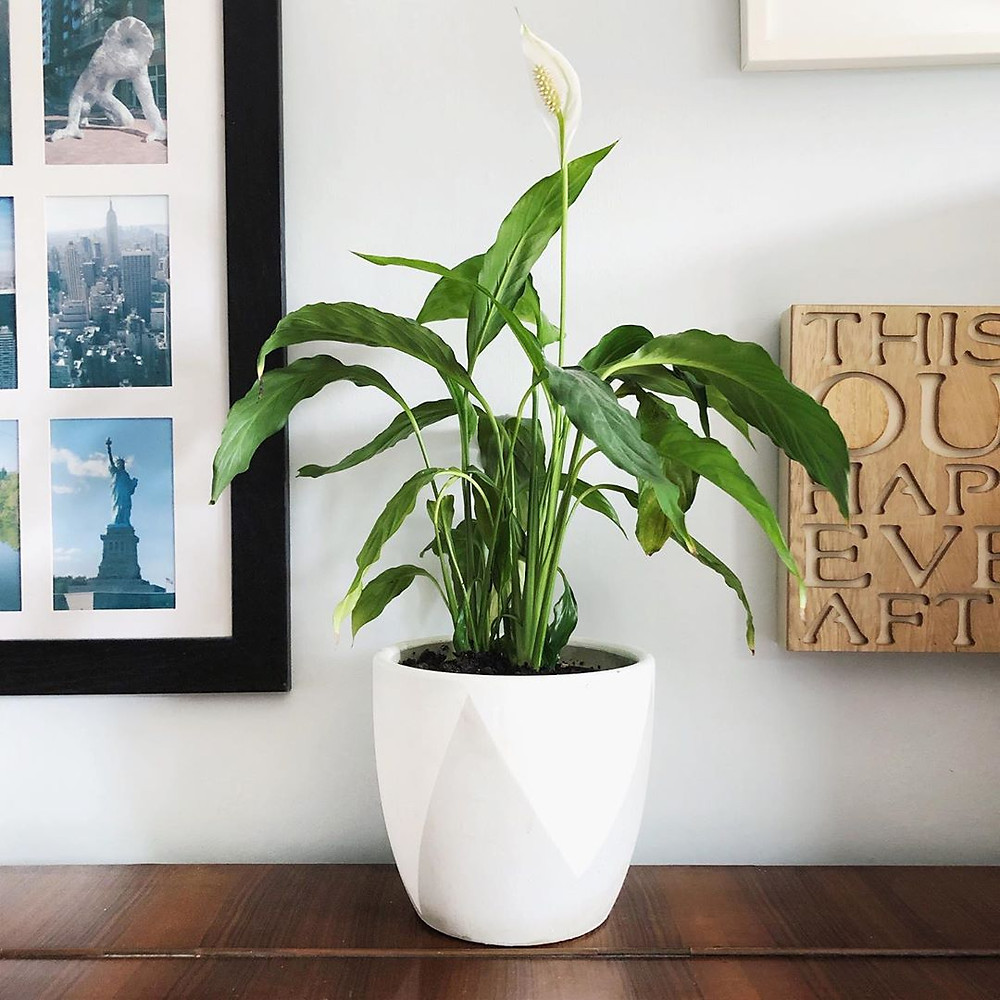 Peace Lily Easy Houseplants For Beginners Low Maintenance
