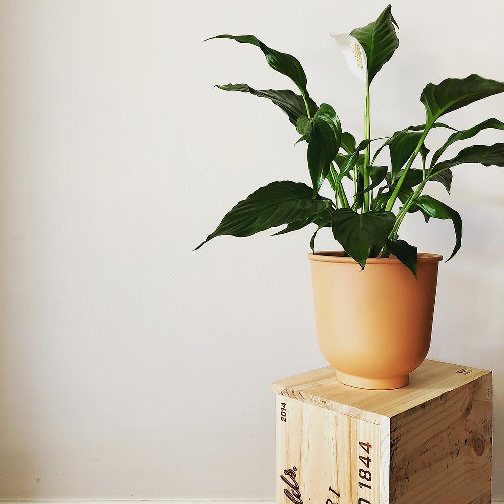 Easy To Care Houseplants Keep Alive Peace Lily Spathiphyllum