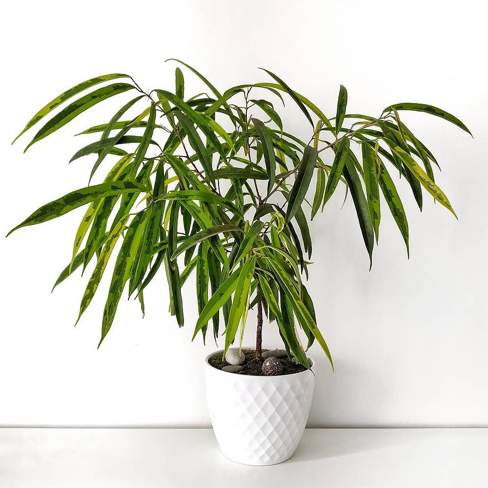 Ficus Alii Air Purifying Plant