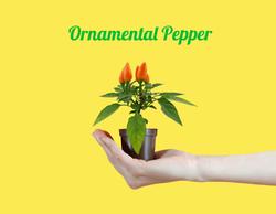 Ornamental Pepper-min (1)