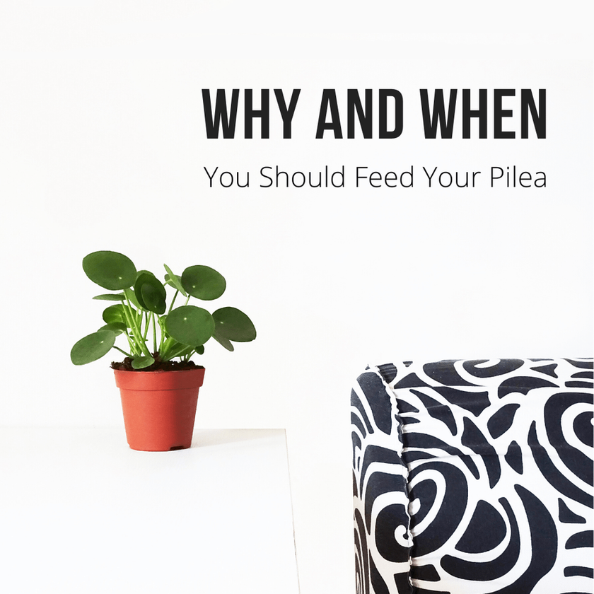 Why And When You Should Feed Your Pilea