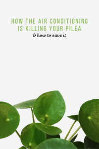 How Your Air Conditioning Is Killing Your Pilea, and How to Save It