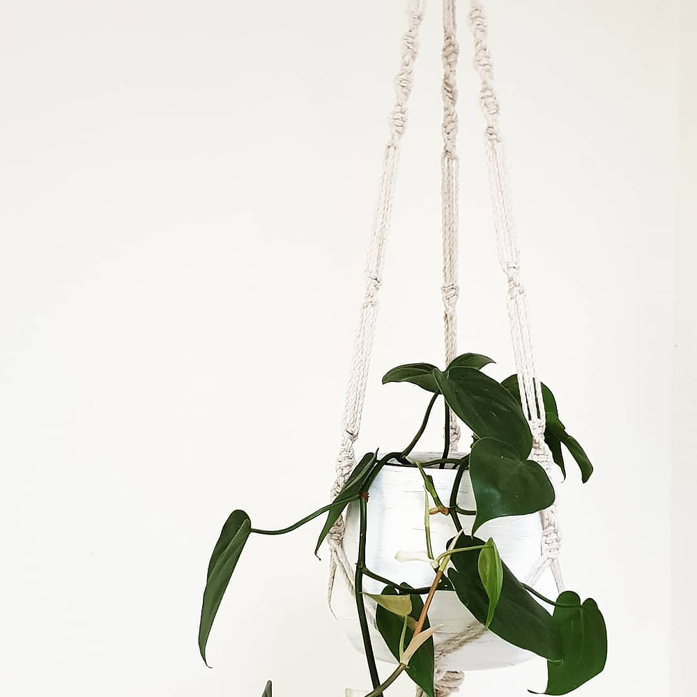 Philodendron Cordatum Trailing Plants Hanging Houseplants