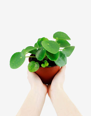 Propagation Tips | The Pass It On Plant | Pilea com