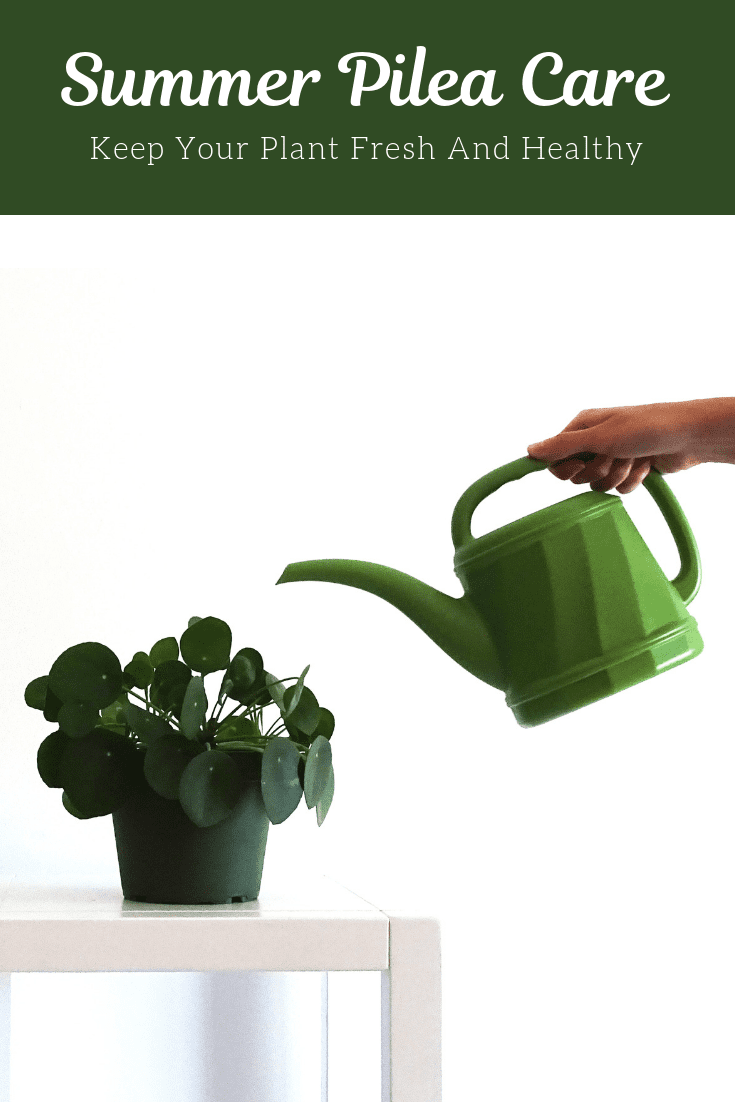 Summer Pilea Care: Best Tips To Keep Your Plant Fresh And Healthy