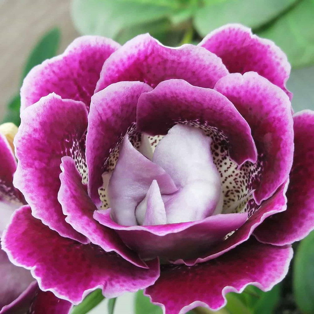 Gloxinia Houseplants That Are Safe For Cats And Dogs