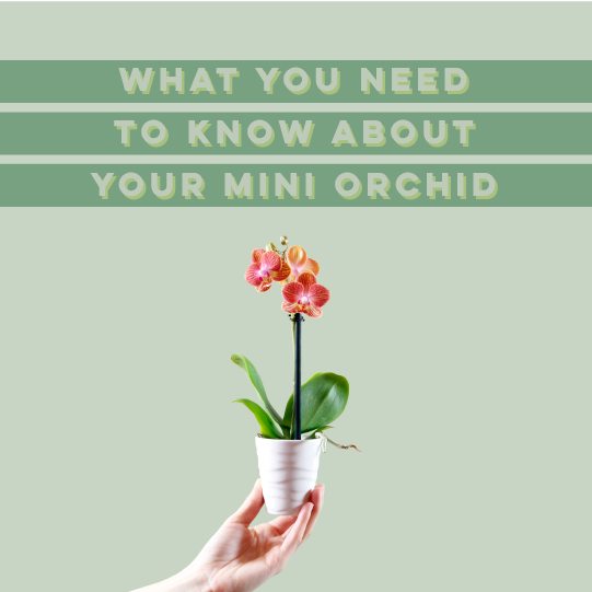 What You Need To Know About Your Mini Orchid