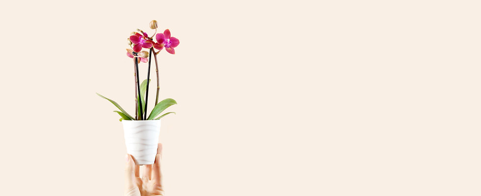 Mini Orchid Care Light Requirements