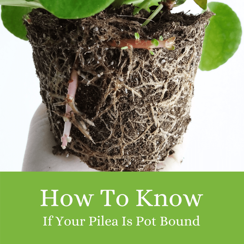 How to Tell If Your Pilea Is Pot Bound