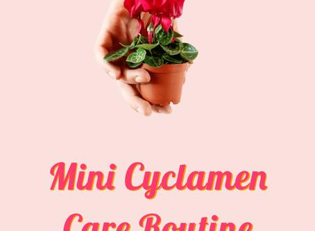 Mini Cyclamen Care Routine Explained