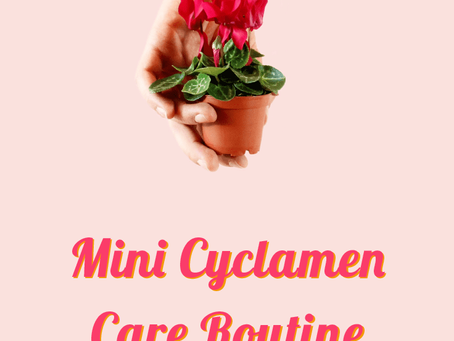 Mini Cyclamen Care Routine Explained