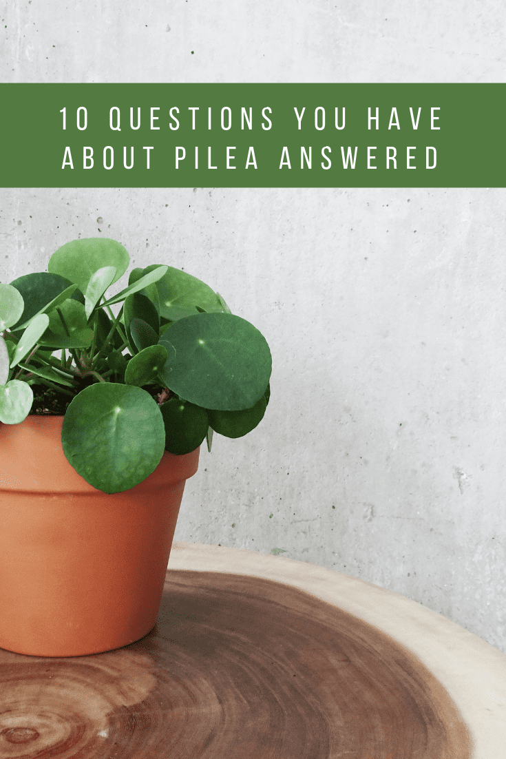 10 Questions You Have About Pilea Peperomioides Answered