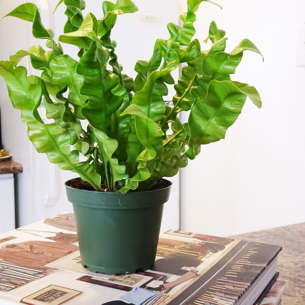 Crispy Wave Houseplants That Are Safe For Cats And Dogs