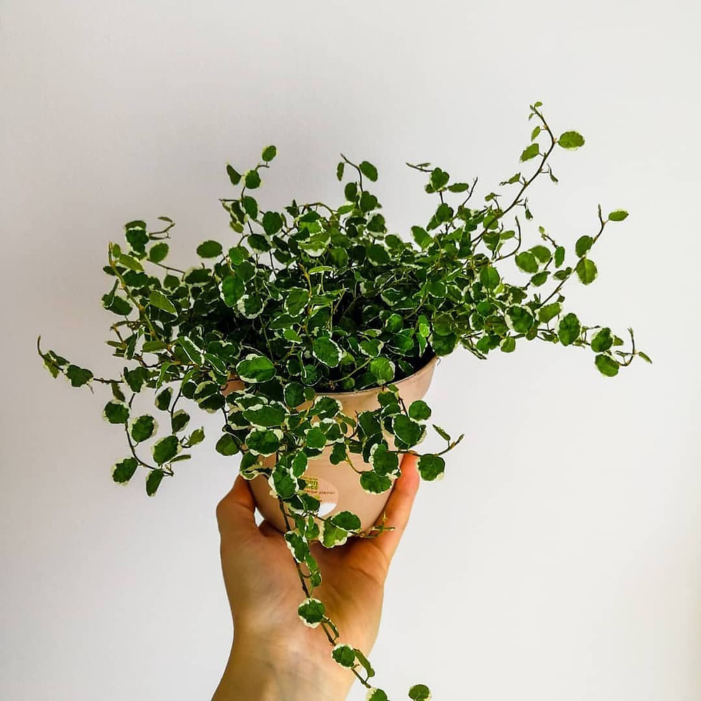 Low Light Houseplant Creeping Fig