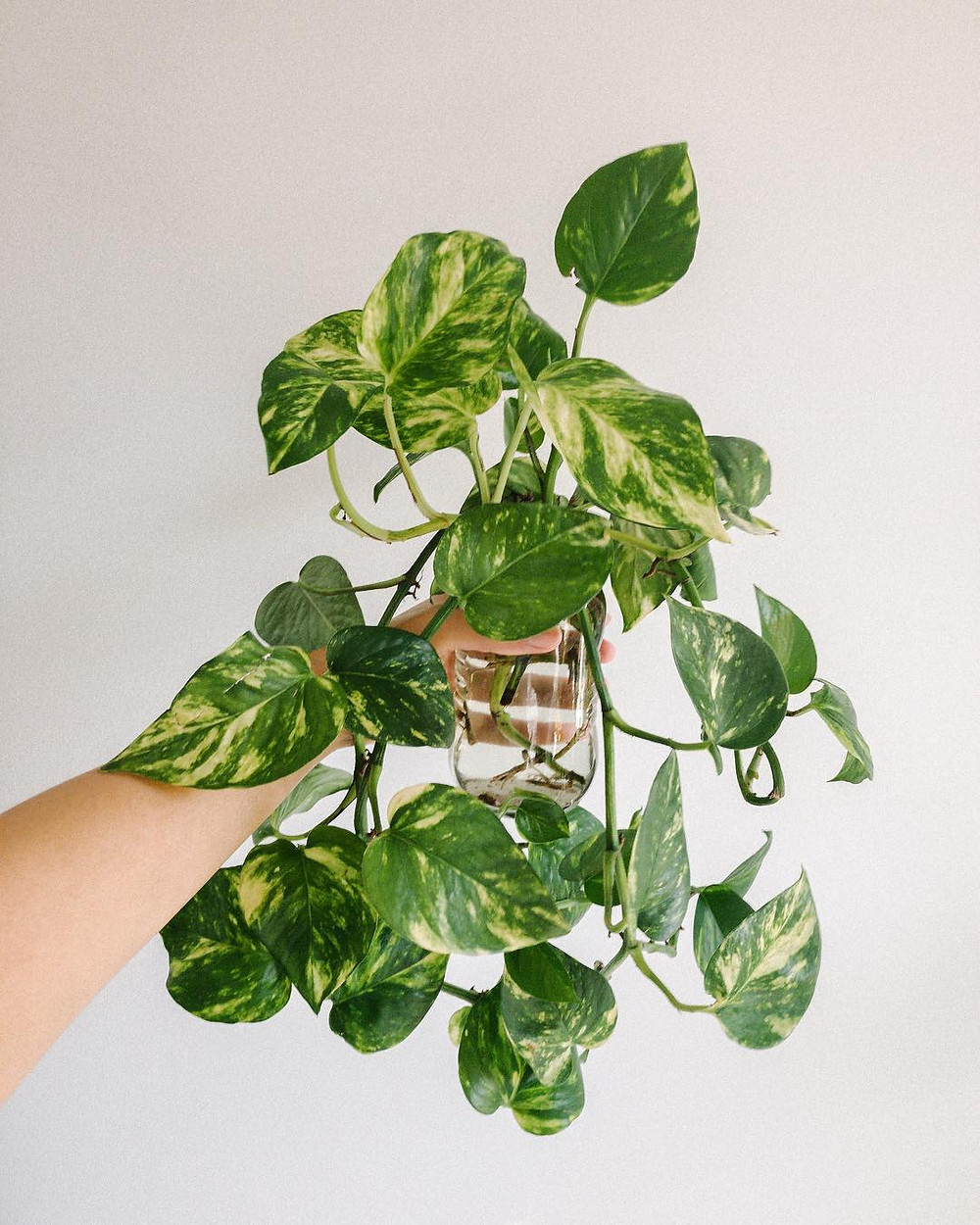 Golden Pothos Healthy Home Air Purifying Houseplants