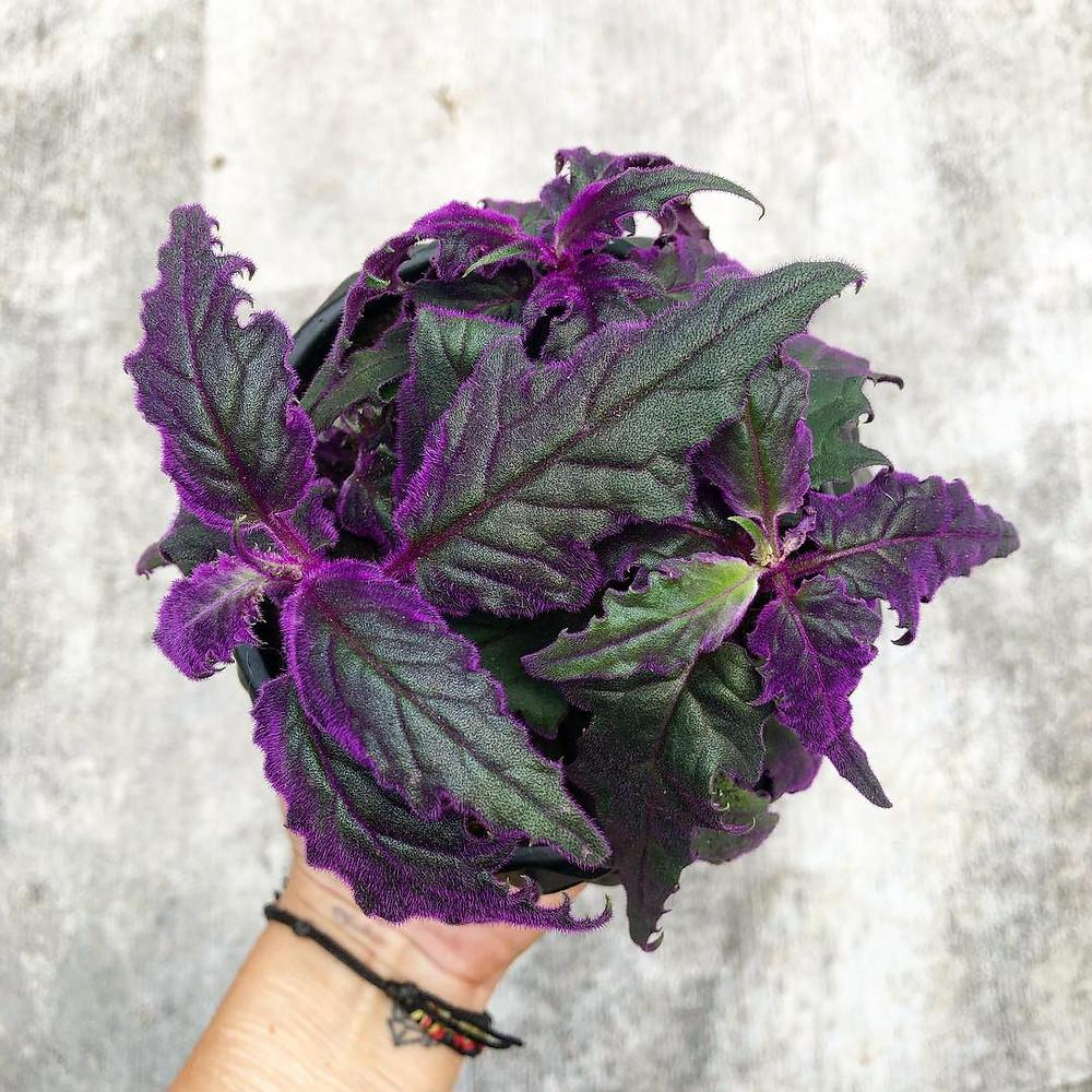 Velvet Plant Quick Fast Growing Houseplant