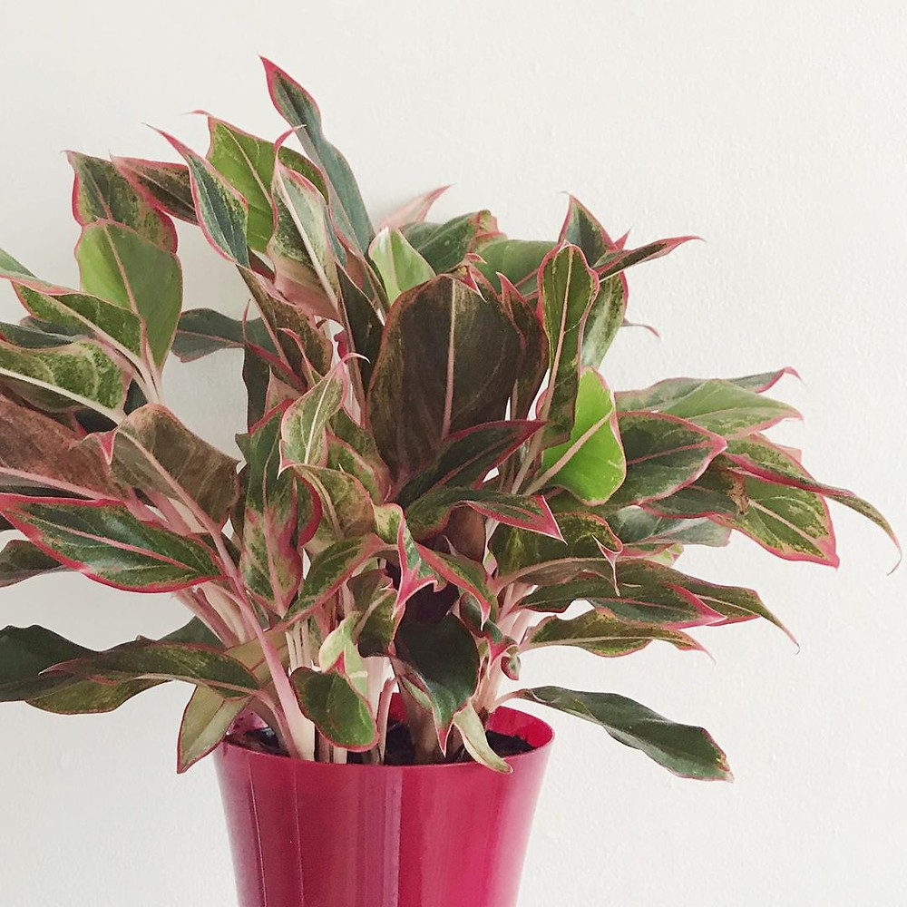 Read Aglaonema Variegated Houseplants That Will Add A Touch Of Soul To Your Home