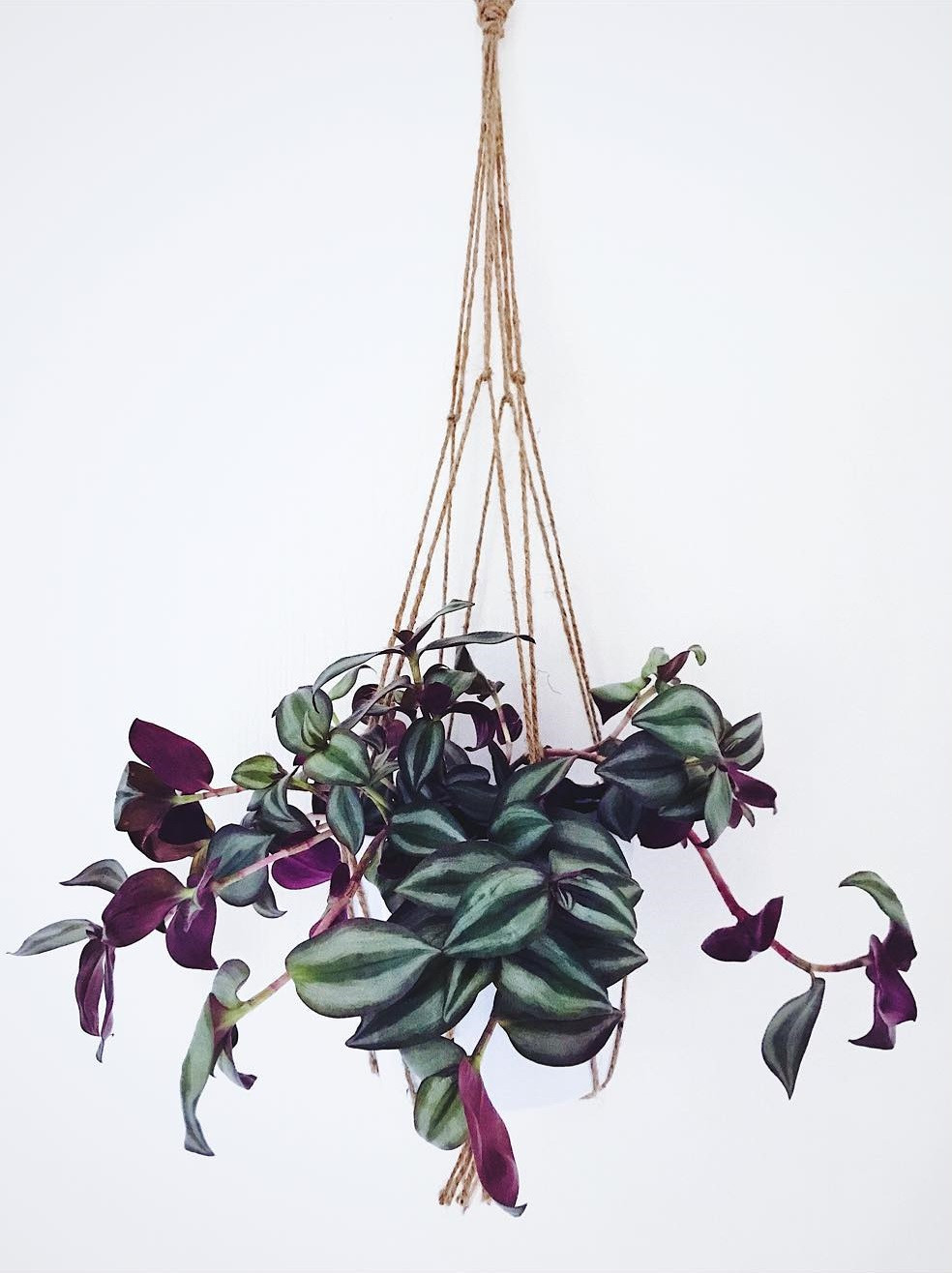 Tradescantia Zebrina Hanging Plants Trailing houseplants