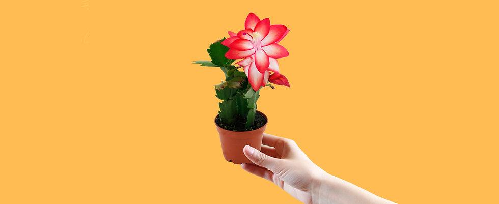 Mini Christmas Cactus Care Food Temperature Requirements