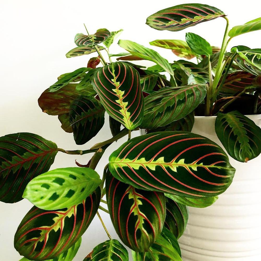 Maranta Leuconeura Prayer Plant Pet Safe Houseplants Non Toxic