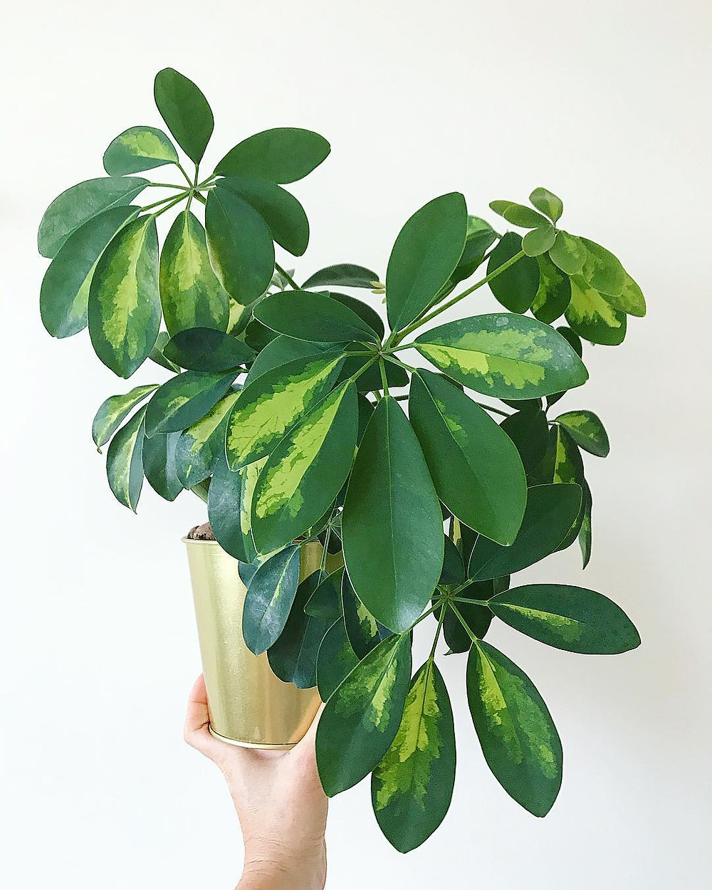Easy To Care Houseplants Keep Alive Schefflera