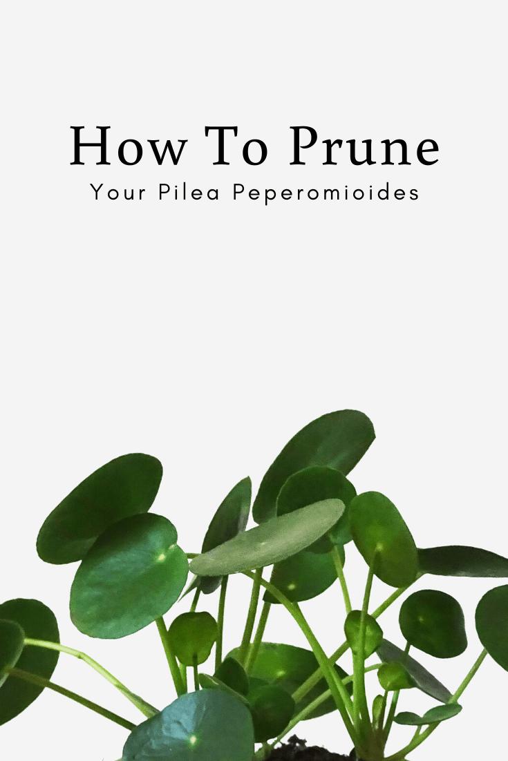 How To Prune Your Pilea